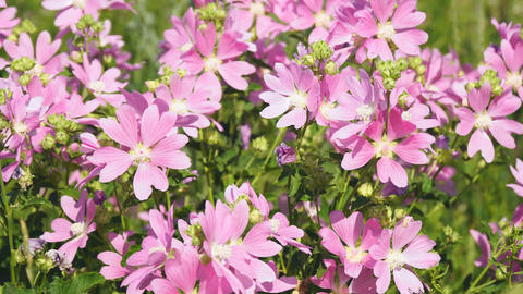 Pink wild mallow flowers in natural environment Live Action