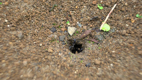 Tokyo,Japan-September 18, 2020: Ants bringing out dirt from hole to build a nest Live Action