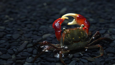 Underwater Video of Red claws crab Live Action