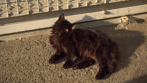 Dark adult street cat lies on the asphalt basking in the morning sun and washes Live Action