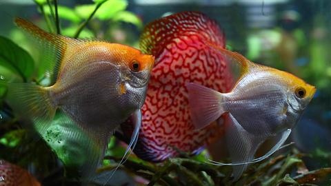 Captive aquarium golden angel fish specimen Pterophyllum freshwater Live Action
