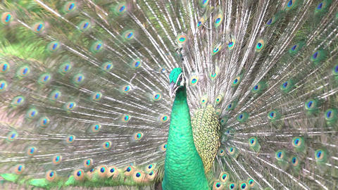 The Indian Blue Peafowl, a brightly colored bird, commonly found in South Asia. Bird shakes its Live Action