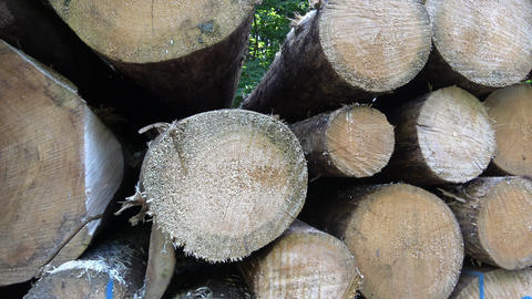 Cutting of the trees, bark beetle calamity, conifer tree logs on pile in woodland, ready for Live Action