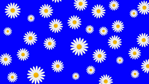 Chamomile flowers color background CG動画