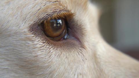Closeup of Dog's Eye as He Falls Asleep, 4K Footage