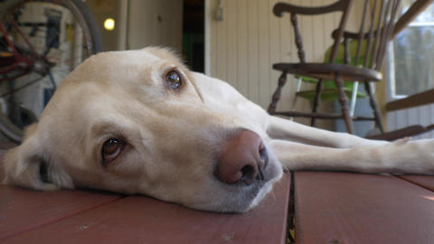 Yellow Labrador Falls Asleep on Front Porch of Country Home, 4K Footage