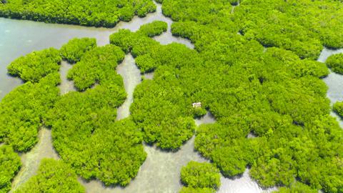 Green mangroves. Mindanao, Philippines ライブ動画
