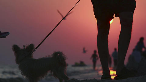 In the evening by the sea. Sunset on the beach. Yorkshire terrier Acción en vivo
