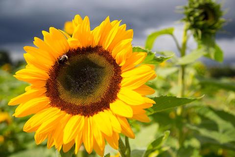 sunflowers in autumn Fotografía