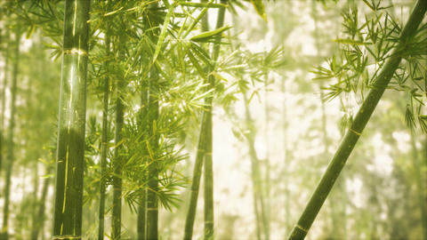 Asian Bamboo forest with sunlight GIF