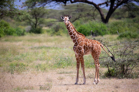 Giraffe walk through the savannah between the plants Fotografía
