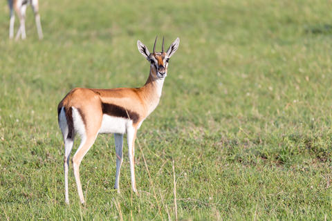Thomson gazelles in the middle of a grassy landscape in the Keny Fotografía