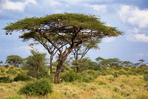 A big acacia tree between another bushes and plants Fotografía