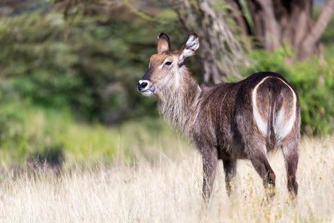 Antelope in the middle of the savannah of Kenya Fotografía
