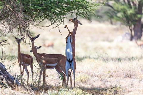 Some gerenuk in the kenyan savanna looking for food Fotografía