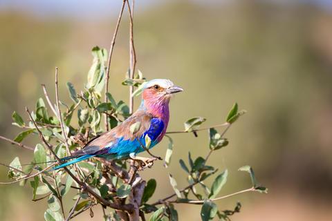 Colorfull bird is sittin on the tree in the savannah in Kenya Fotografía