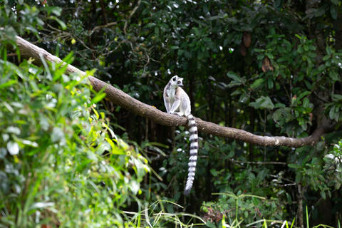 A ring-tailed lemur in the rainforest on the island of Madagasca Fotografía