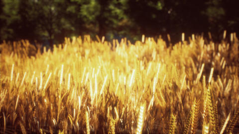 Scene of sunset or sunrise on the field with young rye or wheat in the summer GIF
