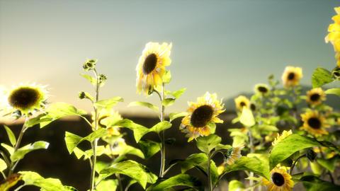 Sunflower field on a warm summer evening GIF