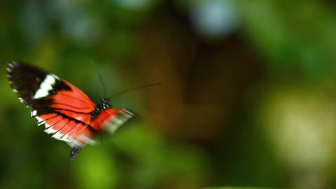 Tropical exotic butterfly Heliconius Erato in jungle rainforest flying on green Live Action