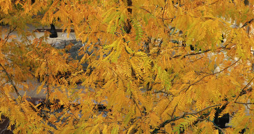 Golden yellow autumn fall leaves park water fountain DCI 4K 771 Footage