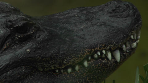 An alligator stares at its surroundings Footage