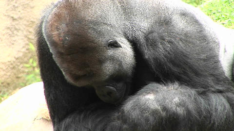 A gorilla eats and looks around Stock Video Footage