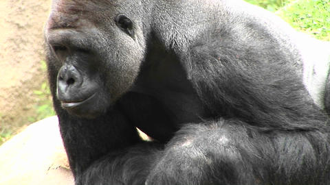 A gorilla eats and looks around Footage