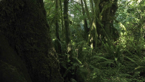 Time lapse scene of a fern covered conifer forest floor Stock Video Footage