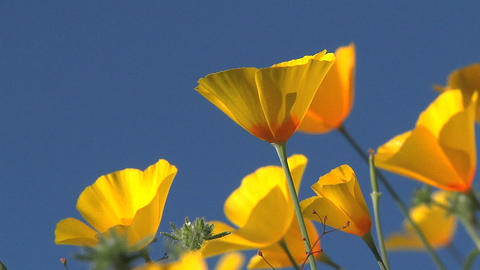 California poppies waving in a breeze Stock Video Footage