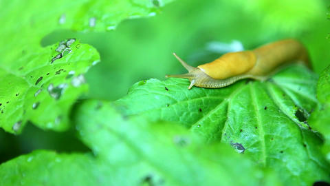 A banana slug travels across a leaf Stock Video Footage