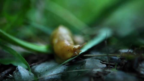A banana slug travels across the forest floor Stock Video Footage