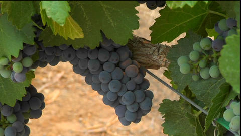 Purple grapes grow on the vine at a winery Stock Video Footage