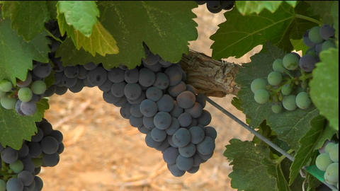Purple grapes grow on the vine at a winery Footage