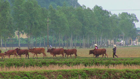 Farmers lead their cattle across the paddies in Vietnam... Stock Video Footage