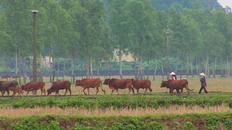 Farmers lead their cattle across the paddies in Vietnam with a small town behind Footage