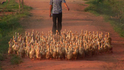 A large flock of ducks are herded by a Vietnamese farmer Stock Video Footage