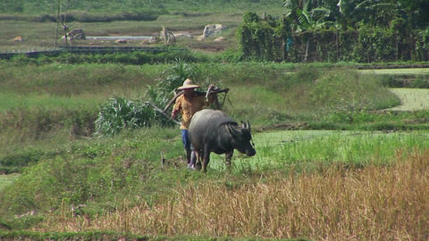 A farmer leads his water buffalo across the rice paddies Stock Video Footage