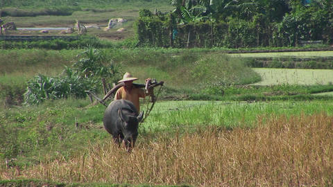 A farmer leads his water buffalo across the rice paddies Footage