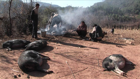Pigs Are Slaughtered And Prepared For Dinner In Rural China stock footage