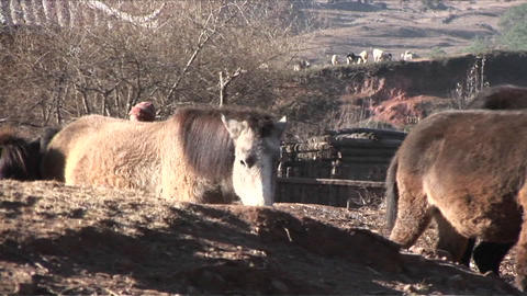 A young boy leads his herd of horses in the field in... Stock Video Footage