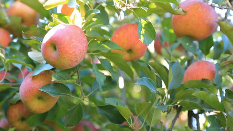 Harvest of apples Footage
