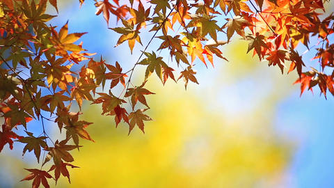 Colorful autumn foliage Footage