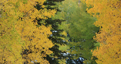Beautiful Autumn colors yellow Aspen forest close DCI 4K 497 Footage