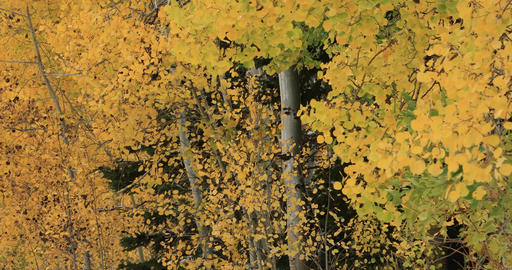 Beautiful yellow autumn leaves mountain Aspen DCI 4K 513 Footage