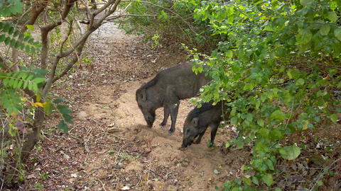 Wild Boar Pair Digs for Food at Edge of Resort in Sri Lanka Live Action