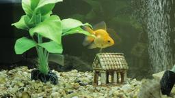 Goldfish in an aquarium Footage