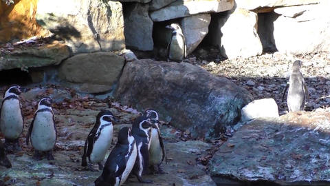 A small group of penguins on the rocks background Footage