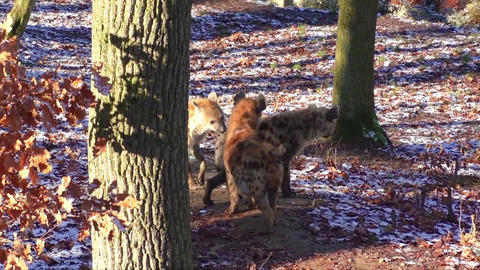 Spotted hyena in the zoo Footage
