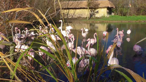 A flock of pink flamingos and reflection in water Footage